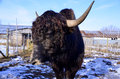 The yak is a long haired bovid found throughout himalayan region of south central asia tibetan plateau and as far north as Stock Image
