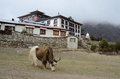 Yak near tengboche buddhist monastery everest region covered with the cloud nepal Royalty Free Stock Images