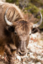Yak portreit have taken on trekking path nepal Stock Images