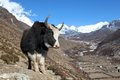 Yak on a trail in Nepal Royalty Free Stock Photo