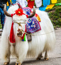 Yak it is a white Royalty Free Stock Image