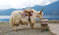 Yak white in front of lugu lake Royalty Free Stock Photo