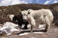 Yak yak yak young yaks in nepal landscape Stock Photography