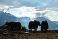 Yaks and beautiful sunrise in Himalayan mountains. Nepal, Royalty Free Stock Photo