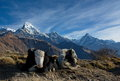 Yaks in himalaya have a rest nepal annapurna region Royalty Free Stock Image