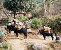 Yaks loaded up for a treck are fully and headed out of town trek Royalty Free Stock Photo