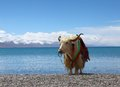 Yaks namtso lake tibet Royalty Free Stock Image