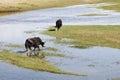 Yaks In The Wetlands Of Qingha...