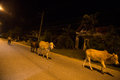 Yala thailand august cow walking on street during night i in is southmost province in aug a muang Stock Photography