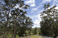 Yandina Tall Gumtrees Royalty Free Stock Photo