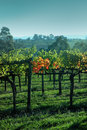 Yarra vineyard-Australia Royalty Free Stock Photos