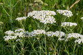 Yarrow grows on the meadow Royalty Free Stock Photo