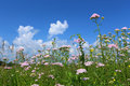 Yarrow meadow with a growing in a sunny day Royalty Free Stock Photo