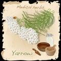 Yarrow. Medical Herb.