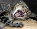 Yawn cat Royalty Free Stock Image