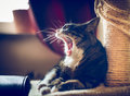 Yawn cat with big mouth on home background Royalty Free Stock Photo