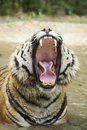 Yawn the of a tiger Stock Images
