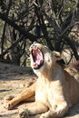 A yawned lion Royalty Free Stock Photo