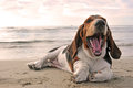 Yawning basset hound Royalty Free Stock Photos
