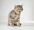 Yawning british kitten tabby on white Stock Image