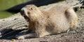 Yawning Capybara