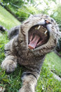 Yawning Cat Stock Photos