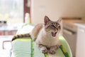 Yawning cat with blue eyes and open mouth, home interior Royalty Free Stock Photo