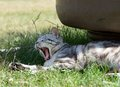 Yawning cat close up in blur background on a shadow, sleepy cat, grey big cat, funny cat in domestic background, siesta time Royalty Free Stock Photo