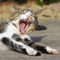Yawning cat teeth pet showing Stock Photography