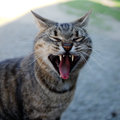 Yawning cat wild and angry looking sleepy Royalty Free Stock Photo