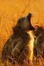 Yawning Chacma Baboon Stock Photos