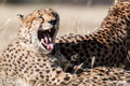 Yawning Cheetah Stock Photos