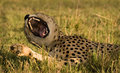 Yawning cheetah Stock Photography