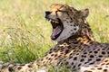Yawning cheetah Royalty Free Stock Photo