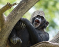 Yawning chimpanzee sleepy while resting in a tree Stock Photos