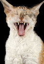 Yawning Cornish Rex Cat Stock Image