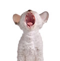 Yawning Cornish Rex Kitten on White Background Stock Image