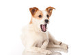 Yawning dog small on white Stock Photography