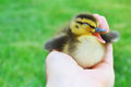 Yawning duckling in hand a tiny mallard a that looks like it is talking singing or quacking Royalty Free Stock Photos