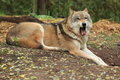 Yawning eurasian wolf the lying in the soil Stock Photo