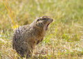 Yawning Ground Squirrel Royalty Free Stock Photo