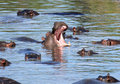 Yawning hippo with family Stock Image