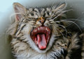 Yawning kitten Stock Images
