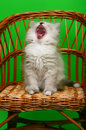 Yawning kitten Stock Photos