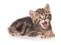 Yawning kitten cute isolated on white background cutout Stock Photos