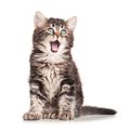 Yawning kitten cute isolated on white background cutout Stock Image