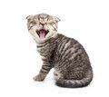 Yawning kitten isolated on white Royalty Free Stock Image