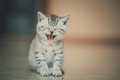 Yawning kitten sleepy small gray Royalty Free Stock Image