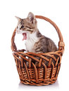 Yawning kitten in a wattled basket multi colored small on white background small predator small cat Royalty Free Stock Images