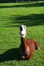 Yawning Lama on the grass